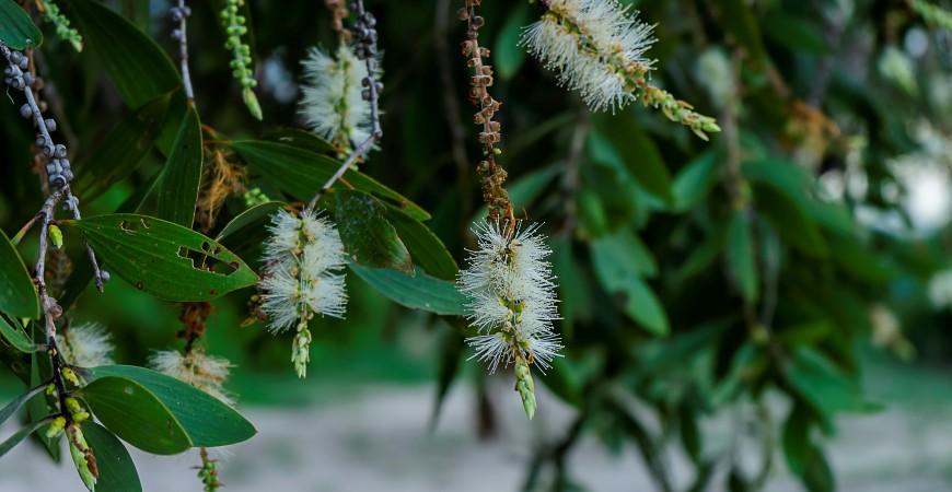 Cajeput - niedoceniany olejek w walce z infekcjami